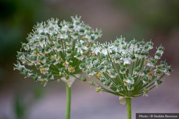 Allium-blanc