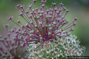 Allium-rouge