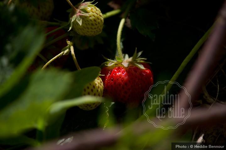 Fraises jardin de ville - Comment cueillir des fraises ...