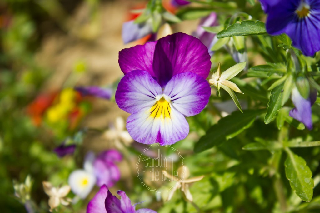 La pens e fleur d automne et d hiver jardin de ville for Fleurs automne