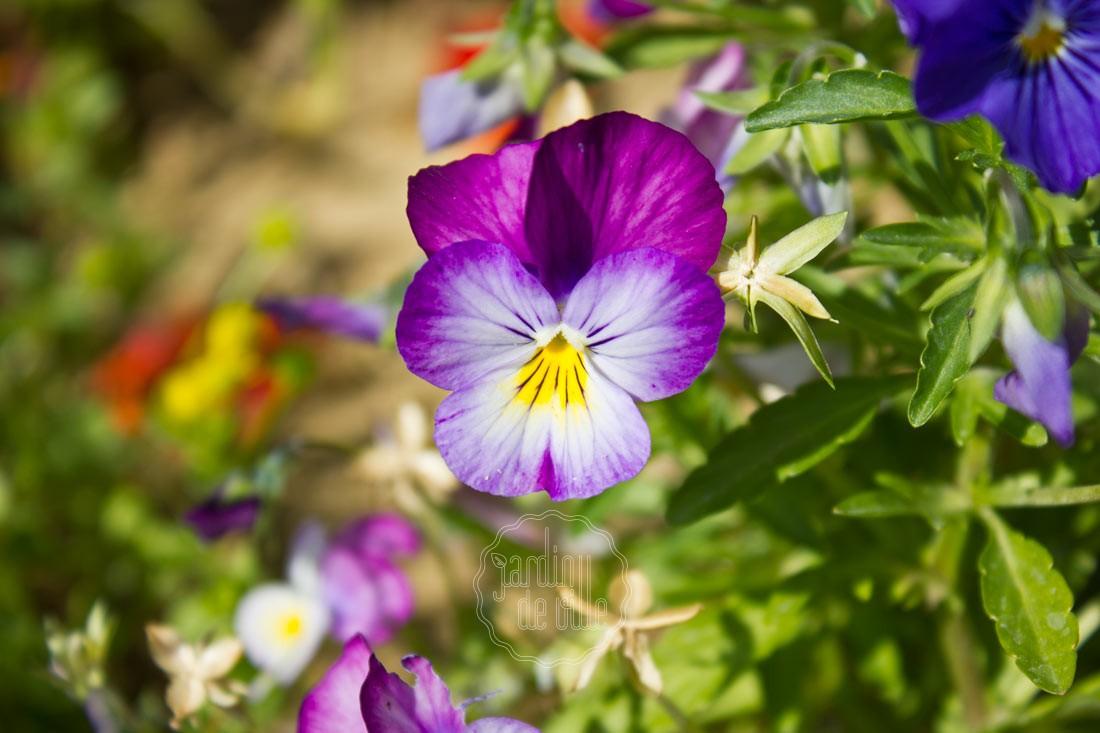 La pens e fleur d automne et d hiver jardin de ville - Fleur d hiver exterieur ...