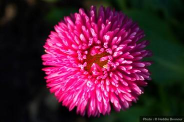 Paquerette pomponnette rose