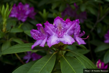 - Fleur rose de rhododendron