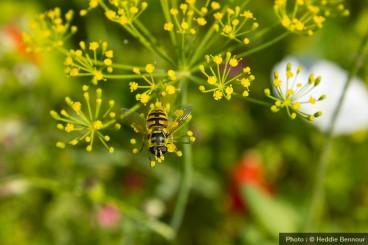 Syrphe-sur-fenouil-fleur-jaune