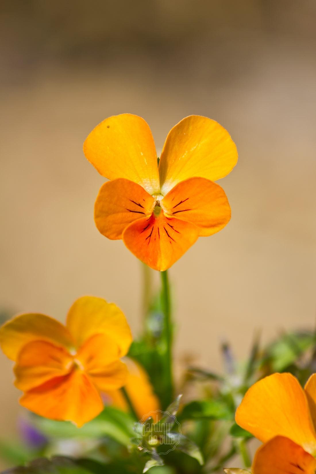 La pensée un grand classique des jardins, à planter sans modération !