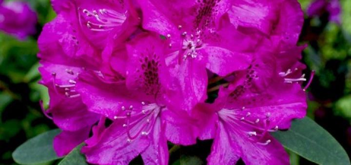 - Fleur de rhododendron