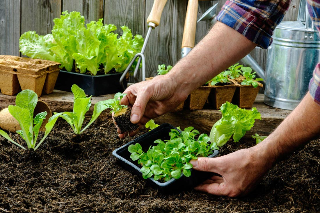 association plantes potager