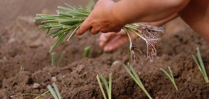 Associations des plantes pour le potager 2