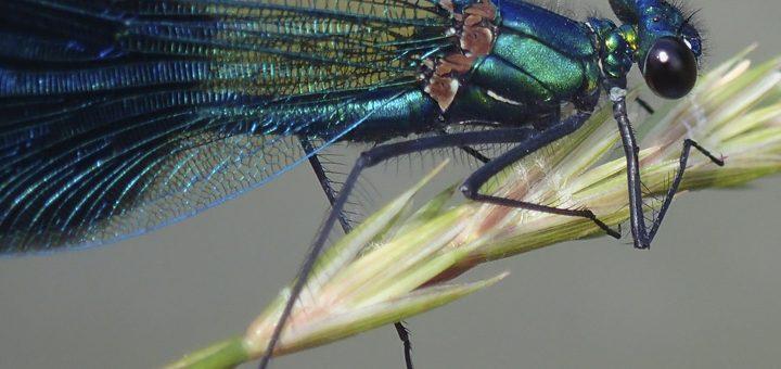 Une belle demoiselle bleue aux reflets métallique 1